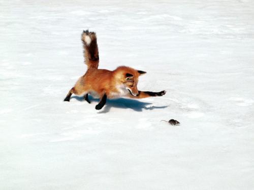 volpe+rossa+caccia+in+inverno