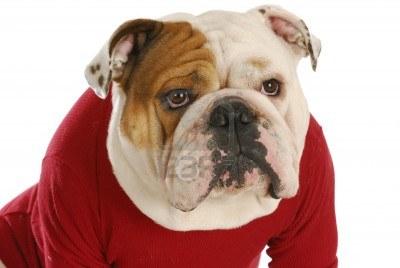 8937760-bulldog-inglese-indossa-cappotto-cane-rosso-su-sfondo-bianco